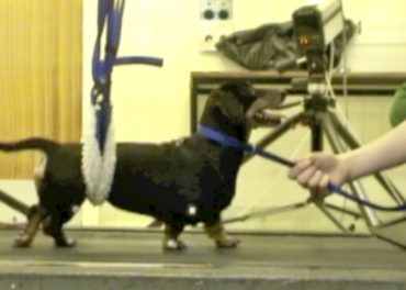 Paralysed dog walks