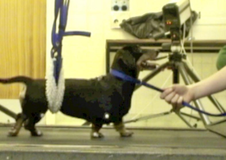 Paralysed dog walks