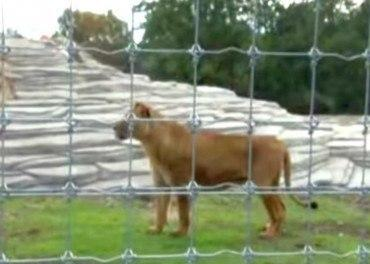 Circus Lions rescued