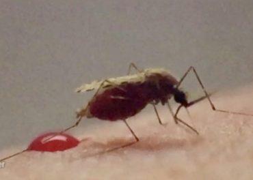 mosquito's deadly bite