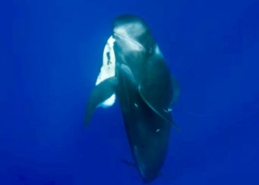 Death of a Pilot Whale Calf