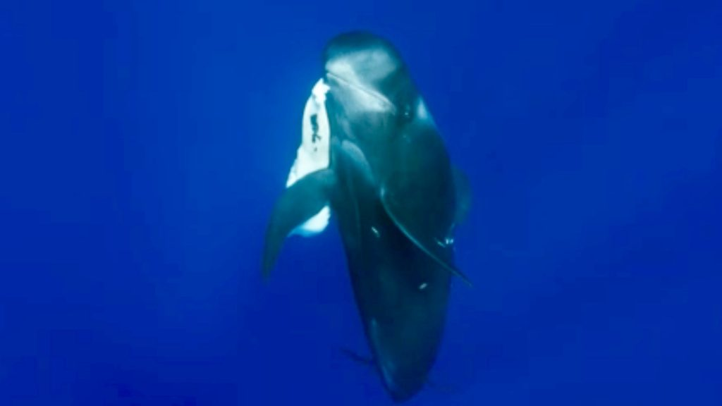 Death of a Pilot Whale Calf