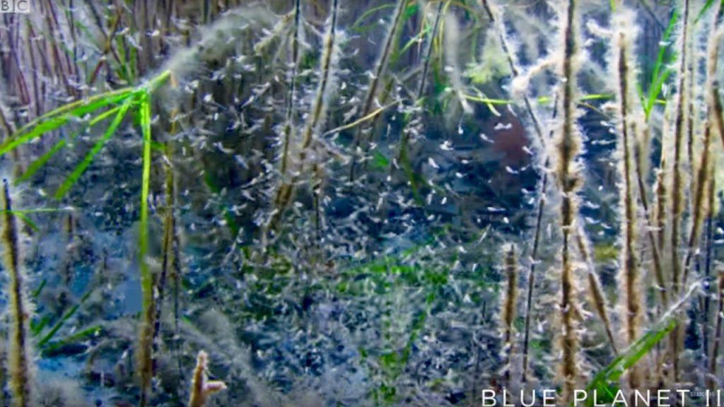 Baby Sea Dragons Hatch - Blue Planet II