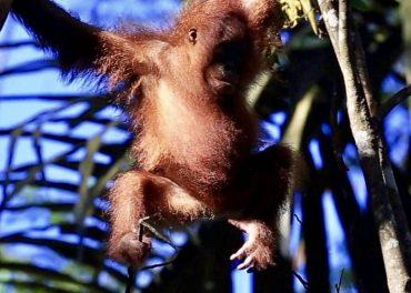 Bornean Orangutans Cling on to Survival