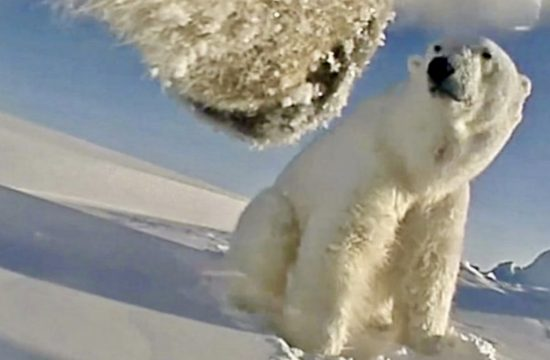Polar Bears Running Out Of Food