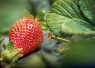 Strawberry-picking Robots