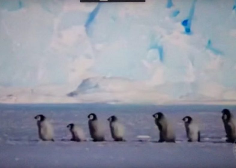Adorable Antarctica Baby Penguins