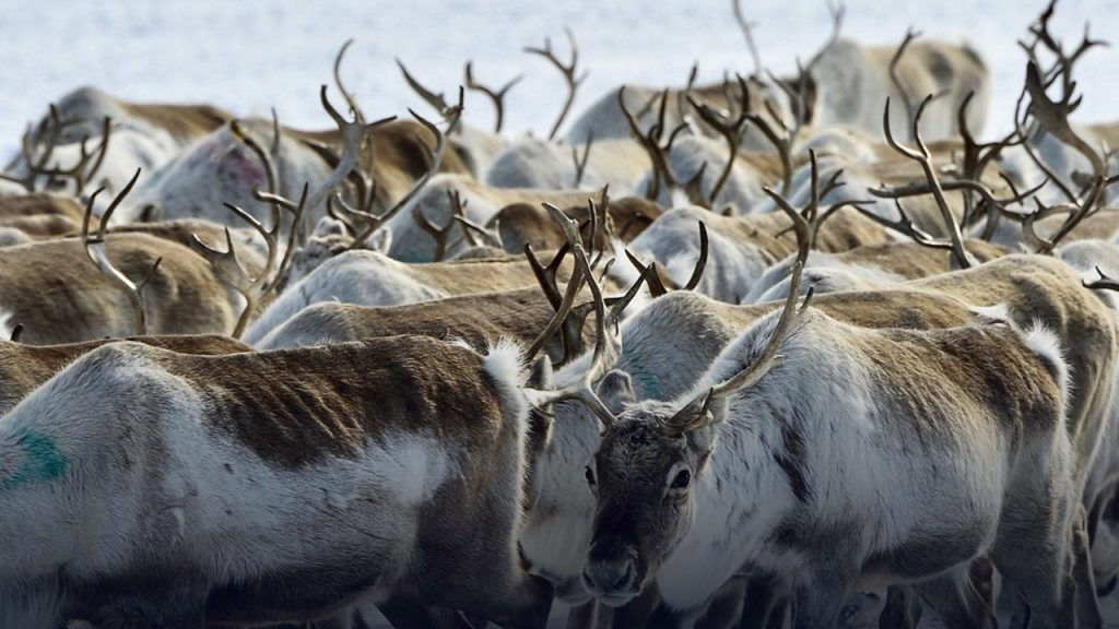 The Great Reindeer Migration