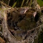 birds nest on springwatch