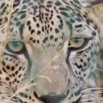 Rare Arabian Leopard birth offers hope for endangered species